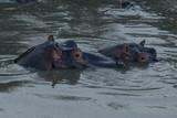 hippos submerged in water in the Maasai Mara - 190506691