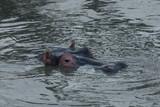 hippos submerged in water in the Maasai Mara - 190506820