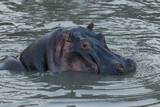 hippos submerged in water in the Maasai Mara - 190507008