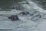 hippos submerged in water in the Maasai Mara