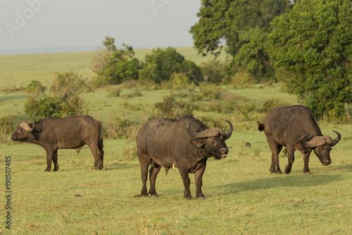 cape buffalo on the Maasai Mara preserve, Kenya