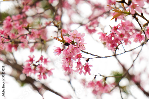 Foto op Plexiglas Magnolia Close up of beautiful pink cherry blossom in winter ,Thai sakura at Chaing Mai