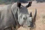 Majestic Rhino - 190530809