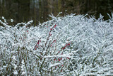 the Berberis bushes covered with snow in winter Park