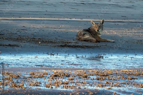 Aluminium Wolf Coyote on the beach