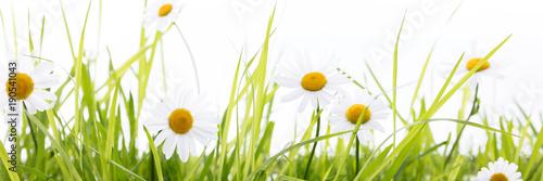 Margeriten in einer Wiese vor weißem Hintergrund - 190541043