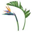 Royal strelitzia. Tropical flower and leaf.