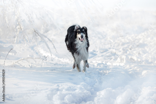 Black and white Russian borzoi dog runs on the snow on the white winter backgrou Poster