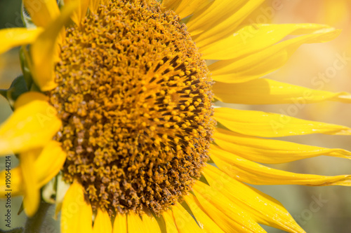 Tuinposter Meloen close up of a sunflower