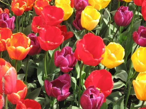 Fotobehang Tulpen Multicolor Tulips