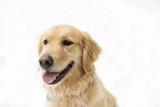 Golden retreiver dog through winter snow season - 190560271