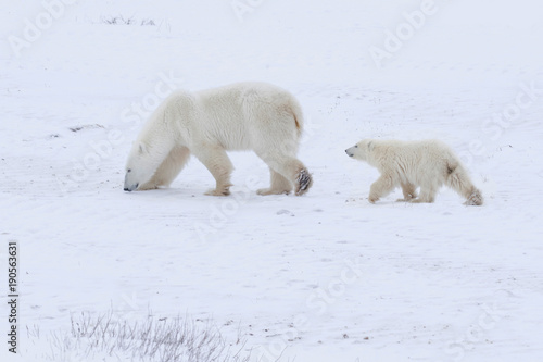 Fotobehang Ijsbeer Polar Bear and Cub-9649