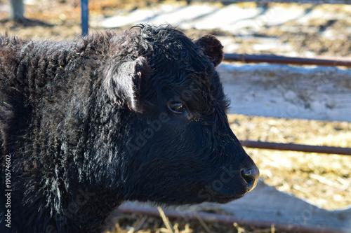 Aluminium Bison Lowline Cow