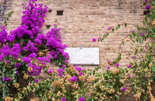 Fotobehang Azalea Purple azaleas plant on wall facade of building in Siena, Tuscany, Italy