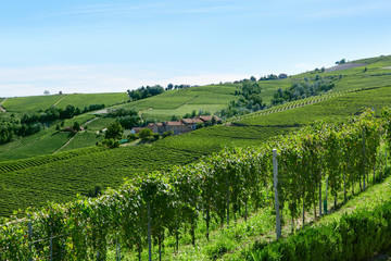 Green vineyards in a sunny summer day in Italy