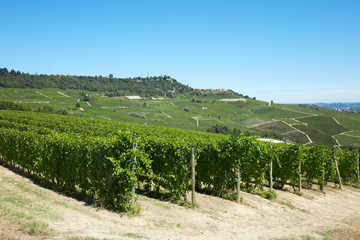 Green vineyards in a sunny day in Italy, blue sky
