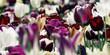 tulips deep purple white concept