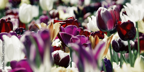 tulips deep purple white concept