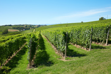 Vineyards in a sunny day, blue sky