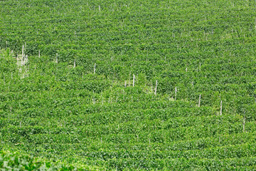 Vineyards green texture background in a sunny day