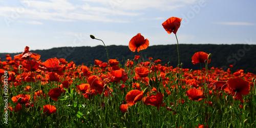 Foto op Plexiglas Klaprozen Poppy flower field, harvesting.