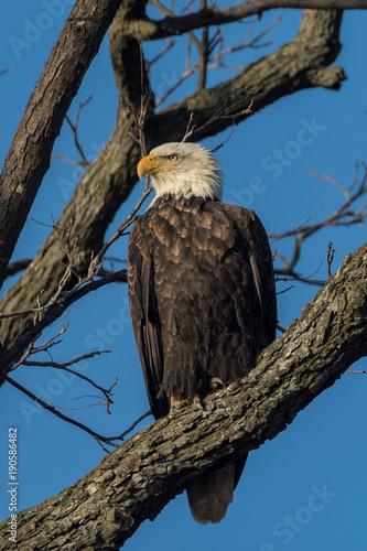 Aluminium Eagle Bald Eagle on Tree Limb