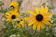 Black-eyed Susans in the Sun