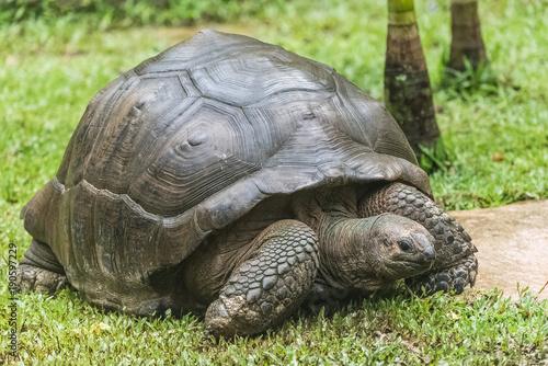 Aluminium Schildpad Aldabra Giant Tortoise, Seychelles tortoise walking on the grass