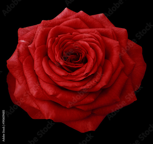 Papiers peints Rouge mauve Flower rose , white isolated background with clipping path. Closeup.