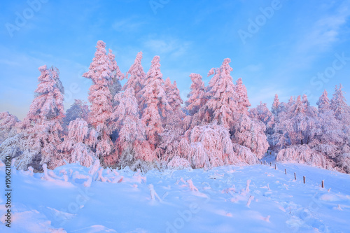 Fotobehang Purper From the snow covered lawn there is a view to nice trees covered by frost and snow. Light pink sun rays of sunset enlighten sky and trees. Wooden fence and tall spruces.