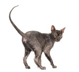 Lykoi cat, 7 months old, also called the Werewolf cat against wh