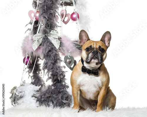Deurstickers Franse bulldog French Bulldog in bow tie sitting next to Christmas decoration against white background