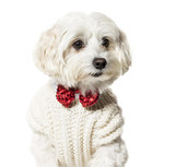 Maltese dog in bow tie and sweater against white background