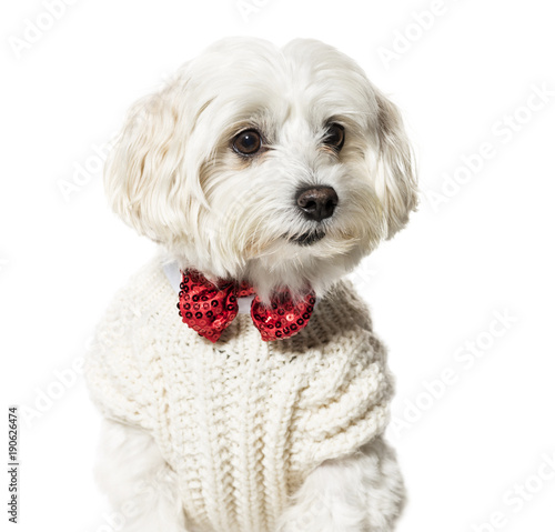 Obraz na płótnie Maltese dog in bow tie and sweater against white background