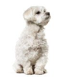 Maltese dog sitting against white background - 190626654