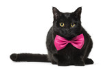 Mixed-breed cat in pink bow tie against white background
