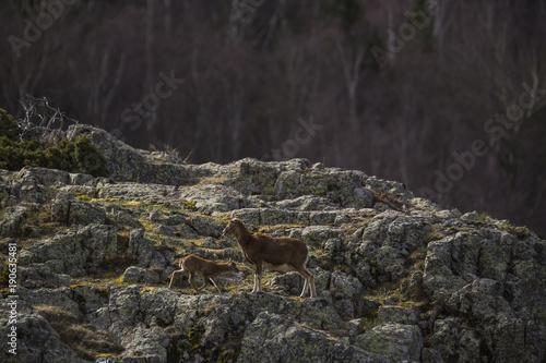 Fotobehang Grijs Muflones en los Pirineos