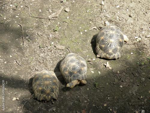 Aluminium Schildpad Giant turtles