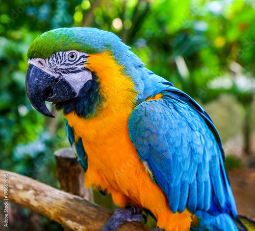 Fotobehang Papegaai Blue-and-yellow macaw. Coloreful Macaw parrot