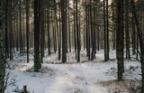 Pine forest in winter, some fog