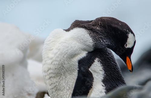 Plexiglas Pinguin Antartica ou Antartida