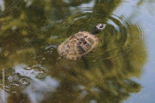 Aluminium Schildpad Primo piano di una piccola tartaruga che nuota con la testa fuori dall'acqua