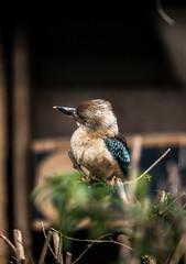 Dacelo leachii, Blue winged Kookaburra, Close up