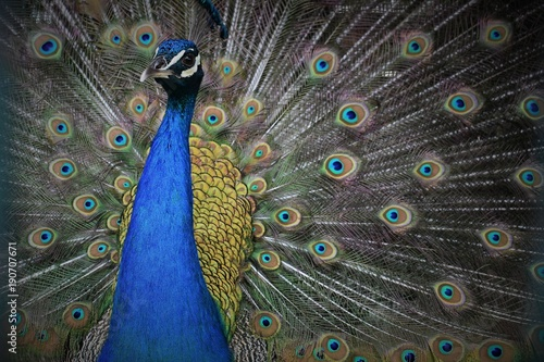 Fotobehang Pauw Colorful Peacock in full Feathers
