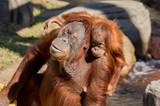 Momma and Baby Orangutan - 190709222