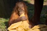 Baby Orangutan with his blanket - 190709240