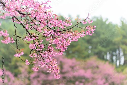 Fotobehang Kersen Beautiful cherry blossom flower in winter, Chiangmai, Thailand