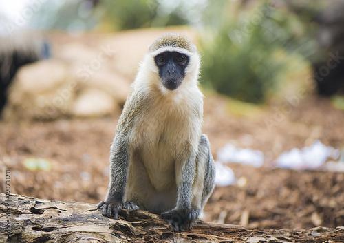 Fotobehang Aap Monkey face