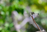 Dragonfly on dry branch.  Peace in nature. - 190722850