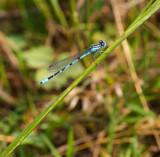Magnifique libellule bleue  cyan sur sa brindille verte  - 190737018